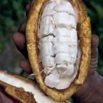 Cacao abierto